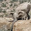 YOUTUBE Mamma elefante salva cucciolo caduto nel fango4