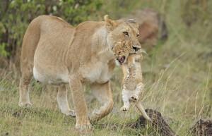 Mamma leone afferra cucciolo per la collottola