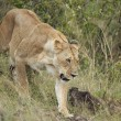 Mamma leone afferra cucciolo per la collottola3