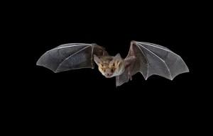 Guarda la versione ingrandita di Pipistrelli portatori di Ebola mai infetti: interferone è…