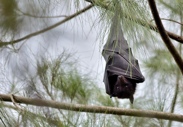 Pipistrelli portatori di Ebola mai infetti3