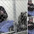Pitbull non mangia veterinario entra in gabbia