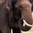 Turista ucciso da un elefante a Kho Samui, Thailandia 2