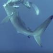 VIDEO YOUTUBE Squalo con amo in bocca: il sub lo salva 2