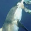 VIDEO YOUTUBE Squalo con amo in bocca: il sub lo salva 5