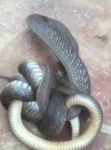 Serpente marrone australiano cannibale e velenosissimo7