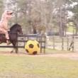 Tirannosauro a cavallo: VIDEO demenziale