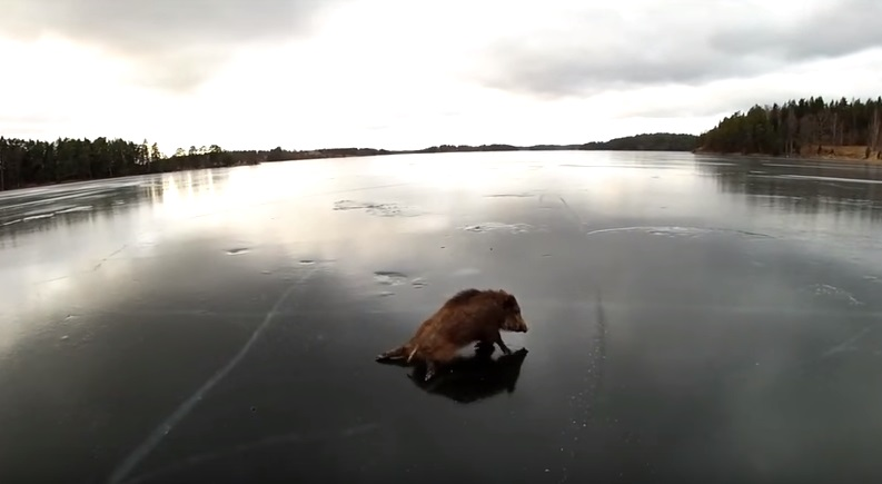 Cinghiali bloccati ghiaccio salvati da pattinatori