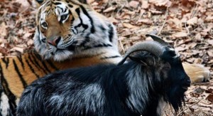 YOUTUBE Tigre Amur e capra Timur: amicizia finita