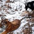 YOUTUBE Tigre Amur e capra Timur amicizia finita