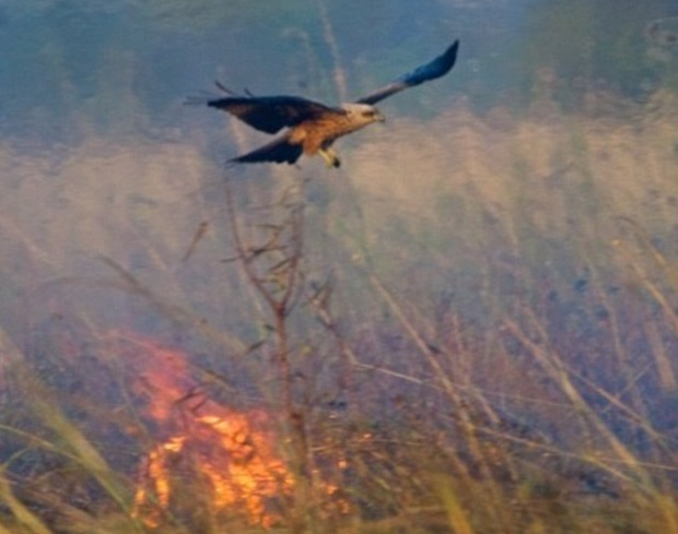 YOUTUBE Australia: nibbio e falco appiccano incendi per...3