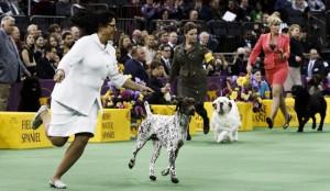 YOUTUBE Bracco tedesco CJ è il cane più bello del mondo