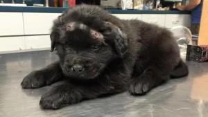 Guarda la versione ingrandita di Brody, cane sopravvissuto a 18 pallottole trova una famiglia