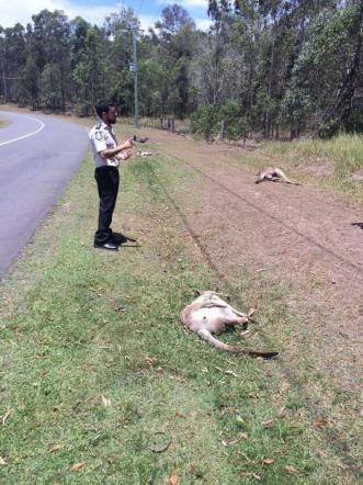 Automobilista punta e investe canguri: uccisi 17 FOTO