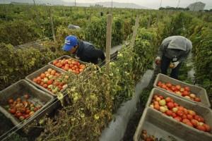 Lavoro nei campi, in 400mila a meno di 2,5 euro l'ora