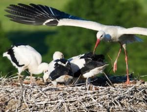 Pavia, distrussero nidi di cicogna: a processo
