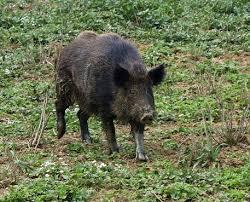 Cinghiali: caccia libera tutto l'anno in Toscana