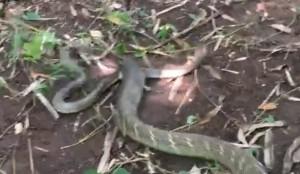 Cobra reale mangia un cobra sputatore VIDEO