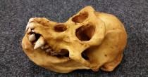 Cranio scimmia in valigia: souvenir all'aeroporto di Monaco
