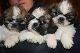 Guarda la versione ingrandita di Cuccioli Shi Tsu