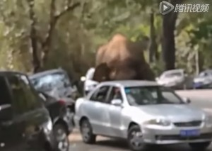 YOUTUBE Elefante respinto da femmina distrugge 14 automobili