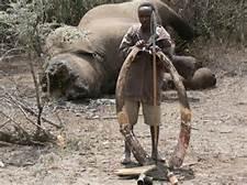 Elefante con testa mozzata per l'avorio delle zanne