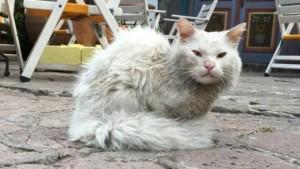 Guarda la versione ingrandita di Dias gatto profugo da Iraq: appello per trovare sua famiglia