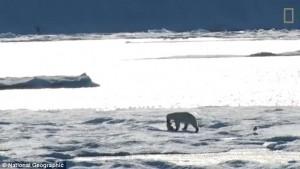 Orso polare cannibale mangia suo cucciolo