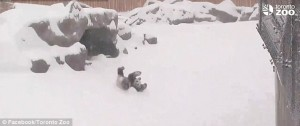VIDEO Panda gigante gioca con la neve allo zoo di Toronto2