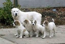 Cuccioli di pastore dell'Asia Centrale