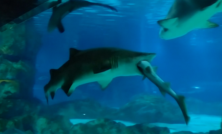 YOUTUBE Squalo tigre mangia altro squalo in acquario 05