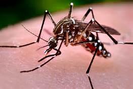 La zanzara Aedes Aegypti