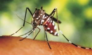 Guarda la versione ingrandita di Zanzara Ogm per far fuori virus Zika. In Brasile funziona