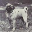 Boxer, Bull Terrier...cani cambiano in 100 anni per colpa16