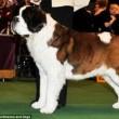 Boxer, Bull Terrier...cani cambiano in 100 anni per colpa2
