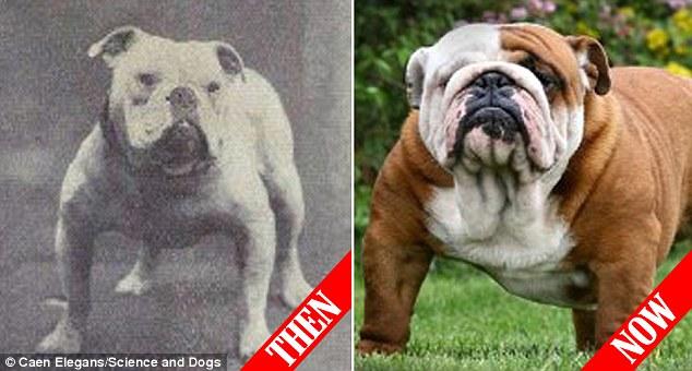 Boxer, Bull Terrier...cani cambiano in 100 anni per colpa5