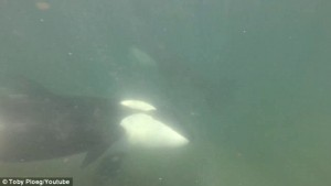 Guarda la versione ingrandita di Fanno snorking, 2 orche nuotano con loro