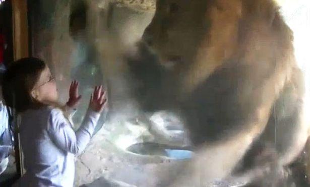 YOUTUBE Bambina allo zoo dà bacio a leone che reagisce così 05