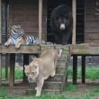 Orso, tigre e leone inseparabili: vivono insieme nel rifugio7