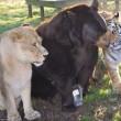 Orso, tigre e leone inseparabili: vivono insieme nel rifugio6
