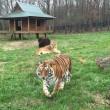 Orso, tigre e leone inseparabili: vivono insieme nel rifugio9