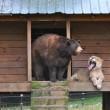 Orso, tigre e leone inseparabili: vivono insieme nel rifugio