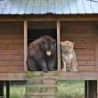 Orso, tigre e leone inseparabili: vivono insieme nel rifugio2