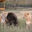 Orso, tigre e leone inseparabili: vivono insieme nel rifugio3