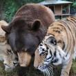 Orso, tigre e leone inseparabili: vivono insieme nel rifugio4
