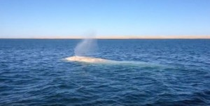 Rara balena albina avvistata nel Golfo del Messico2