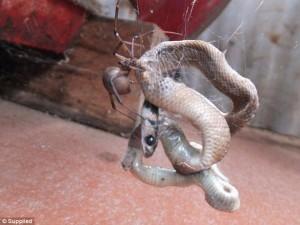 Ragno Redback riesce ad intrappolare serpente 2
