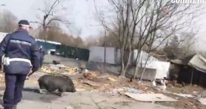 Sgomberato campo rom a Milano. Agenti inseguono maiale VIDEO