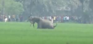 YOUTUBE Elefante prende uomo con la proboscide e lo uccide