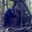 Scimpanzé rito bizzarro: credono in Dio2